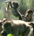 Solution to the Human / Baboon conflict sought